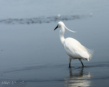Little egret-8787
