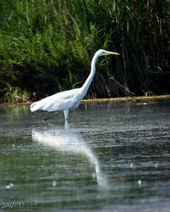 Great white egret-8707