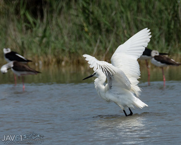 Little egret-8745