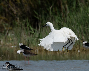 Little egret-8742