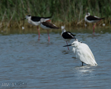 Little egret-8736