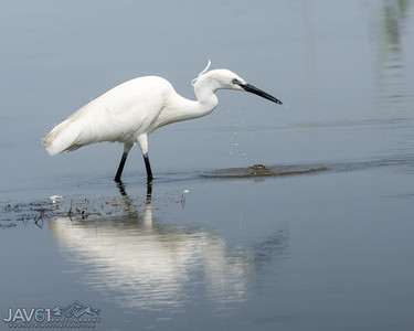 Little egret-8793