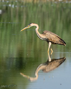 Purple heron-8684