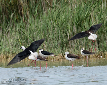 Black-winged stilt-8755