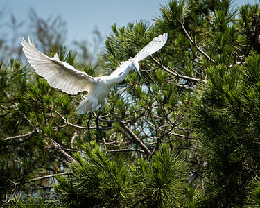 Little egret_8065-