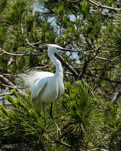 Little egret-8070