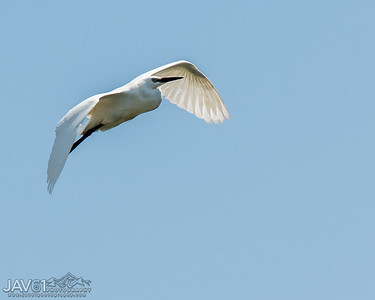 Little egret-8005