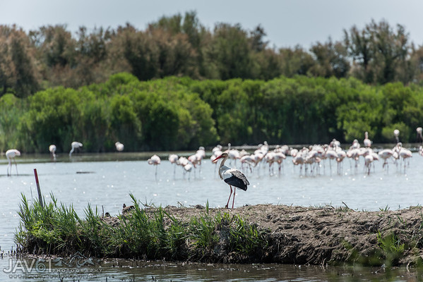 White stork with Pink Flamingos in the background