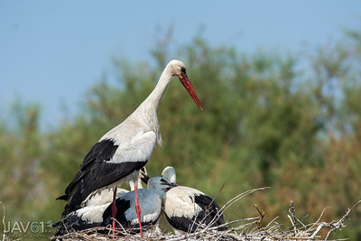 White Stork mom with her chicks