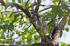 EASTERN BLUE BIRDS (MALE & 2 JUVENILES)
