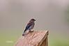 EASTERN BLUEBIRD (JUEVENILE)