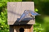 EASTERRN BLUEBIRD (FEMALE)