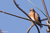 I don't know why this Bluebird liked this perch, I have watched him for over a week now and this seems to be his favorite perch.