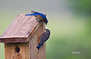 EASTERN BLUEBIRDS (MALE & JUVENILE)