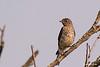 Juvenille Bluebird
