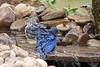 EASTERN BLUEBIRD (MALE & JUVENILE & CEDAR WAXWING)