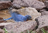 Not the best Bluebird photo, but I wanted to show a Bluebird while it is bathing. I t is amazing how such a graceful bird can just let everything go when it takes a bath.