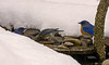EASTERN BLUEBIRDS GETTING A WINTER TIME DRINK