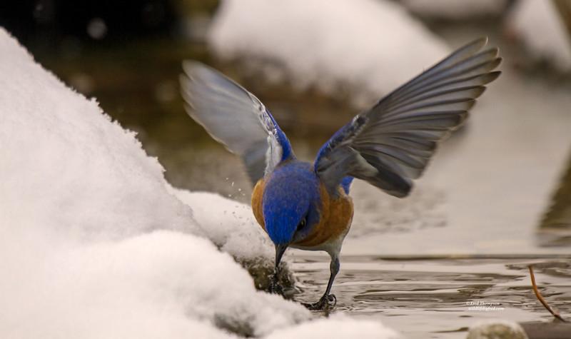EASTERN BLUEBIRD GETTING A WINTER TIME DRINK