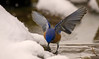 EASTERN BLUEBIRD GETTING A WINTER TIME DRINK