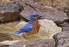 Bluebird bath time