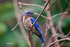 EASTERN BLUEBIRD (MALE)