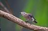 EASTERN BLUEBIRD (JUVENILE)