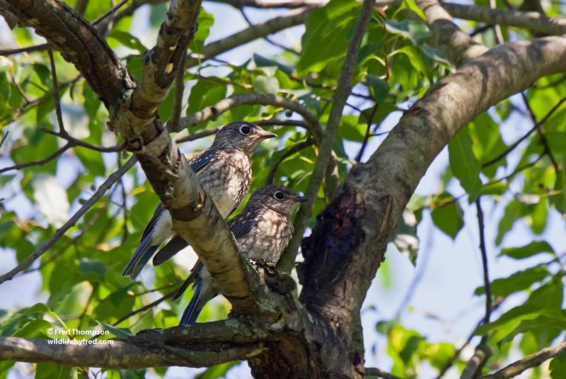 JUVENILE EASTERN BLUE BIRDS