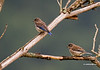 A pair of juvenile Eastern Bluebirds