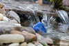 BLUEBIRD TAKING A BATH