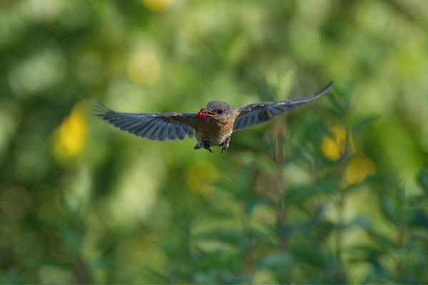 Eastern Bluebird flies toward camera with berries  • South Onondaga, NY • 2012