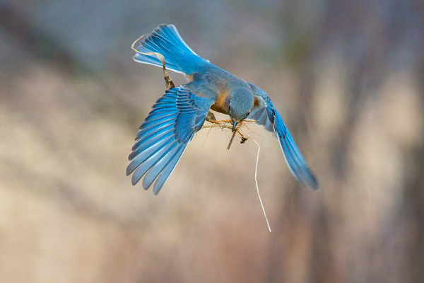 Eastern Bluebird female in flight with nesting material • South Onondaga, NY • 2014