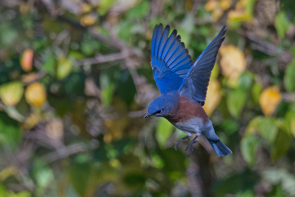 Eastern Bluebird male hovers by foliage • South Onondaga, NY • 2014