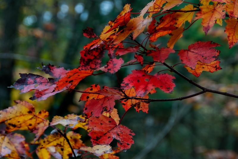 Fall Foliage; Thetford Hill, VT