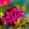 Crimson Day Lily