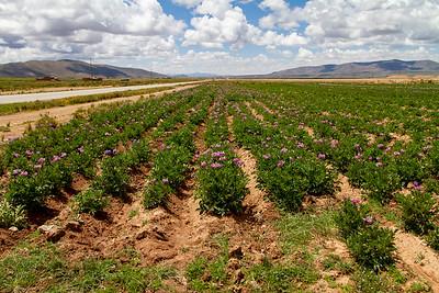 015 Potato field on the way to Oruro Bolivia © David Bickerstaff
