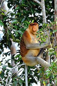 ® Luis Courtot Borneo