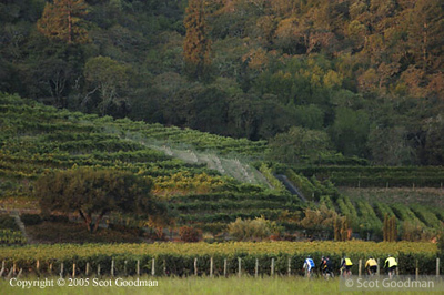 Sonoma county vineyards graces the hills above 5 of the 100 mile riders.