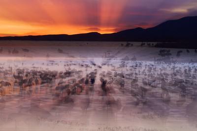 Sandhill Crane Bosque del Apache NWR Socorro NM IMG_0006658 dng
