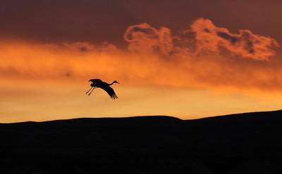 Sandhill Crane Bosque del Apache NWR Socorro NM Crane and clouds 0007123 jpg