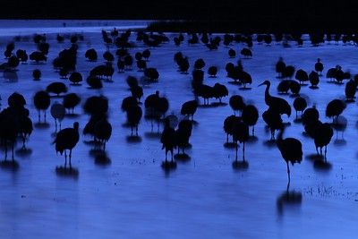 Sandhill Crane Bosque del Apache NWR Socorro NM Blue cranes blur 0006993 jpg