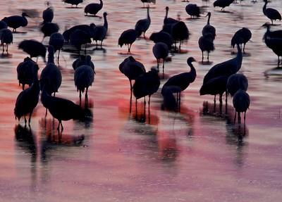 Sandhill Crane Bosque del Apache NWR Socorro NM Cranes and reflection_0006656 jpg