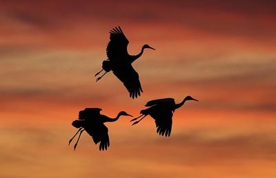 Sandhill Crane Bosque del Apache NWR Socorro NM Three cranes silhouette 0006640 jpg