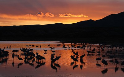 Sandhill Crane Bosque del Apache NWR Socorro NM Cranes at sunset rays 0007115 jpg