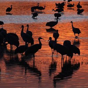 Sandhill Crane Bosque del Apache NWR Socorro NM Crane silhouettes_0007118 jpg