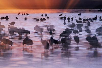 Sandhill Crane Bosque del Apache NWR Socorro NM zoom blur cranes_0006667 jpg