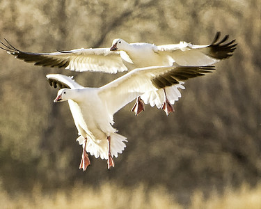 SNOW GEESE LANDING in a field BOSQUE - DECEMBER 2010