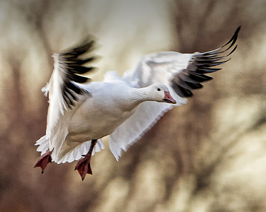 SNOW GOOSE LANDING BOSQUE