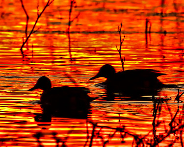 DUCK SILHOUETTES at SUNRISE This was honestly the color of the water - it was incredible BOSQUE is amazing!