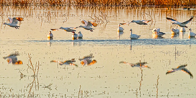 SNOW GEESE on a POND BOSQUE - DECEMBER, 2010